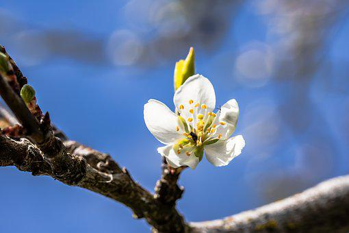 Plum Blossom, Plum Tree, Prunus Domestica, Plum Buds