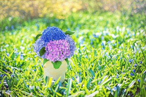 Spring Flowers, Hydrangeas, Purple, Blue, Spring