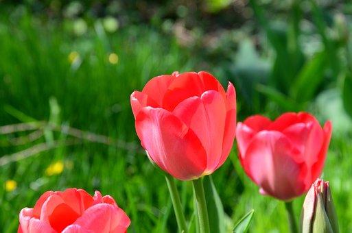 Tulip, Flower, Spring, Cut Flowers