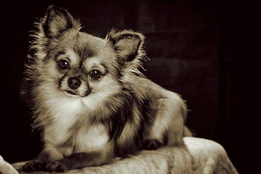 Chihuahua, Small, Small Dog, Pets, Chiwawa, White Brown