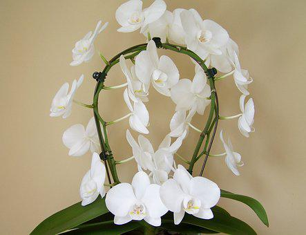 Orchid, White Flower, Room Plant