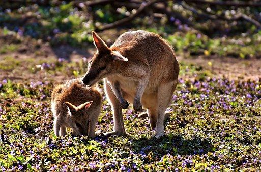 Kangaroo, Young Animal, Mother, Wild Animal, Animal