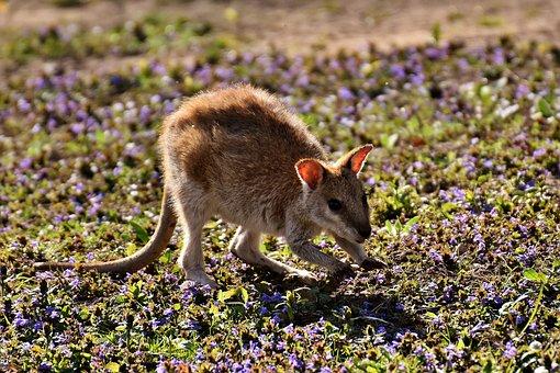 Kangaroo, Young Animal, Wild Animal, Animal, Young