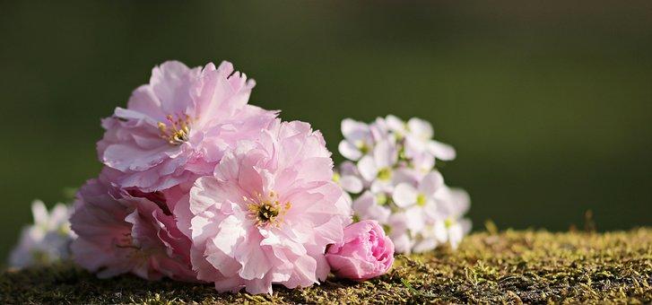 Cherry Blossoms, Flowers, Japanese Cherry