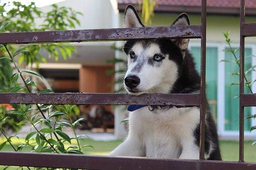 Dog, Husky, Beautiful, Pet, Animal, Friend, Cute, White