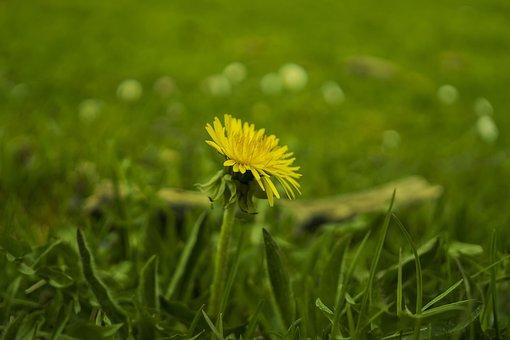 Meadow, Dandelion, Yellow, Green, Spring, Flowers