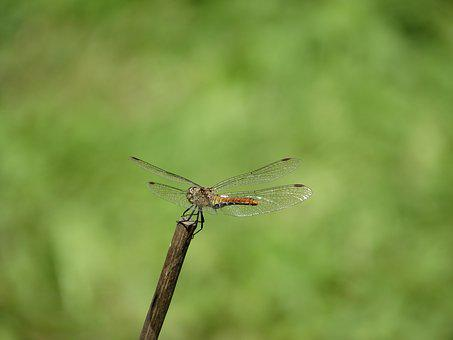 Dragonfly, Stick, Flight, Suspended