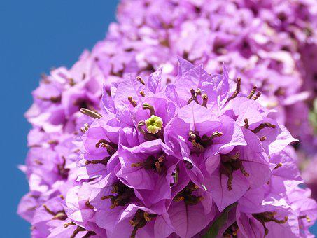 Bougainvillea, Climber, Flower, Plant, Nature, Flora
