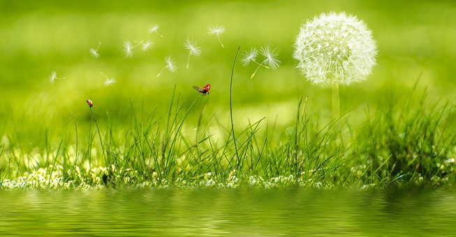 Meadow, Rush, Grass, Green, Dandelion, Plant, Nature