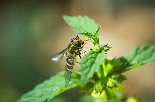 Hoverfly, Insect, Brennessel, Fly