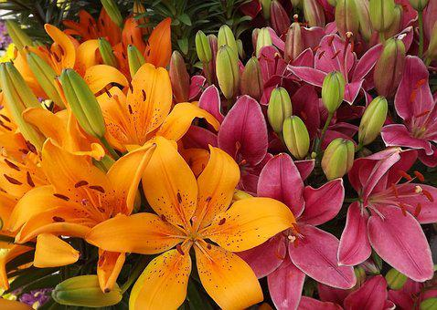 Flowers, Lilies, Orange, Pink, Garden Flowers