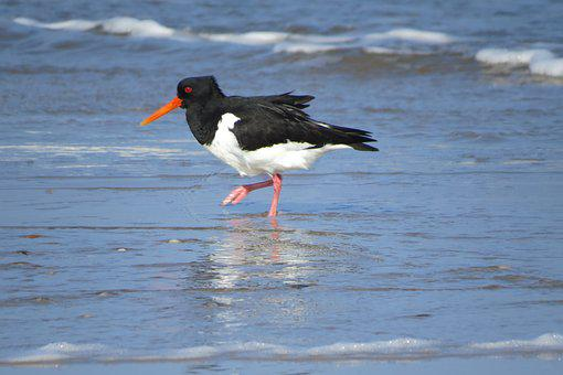 Oystercatcher, Sea, Beach, Bird, Coast, Nature
