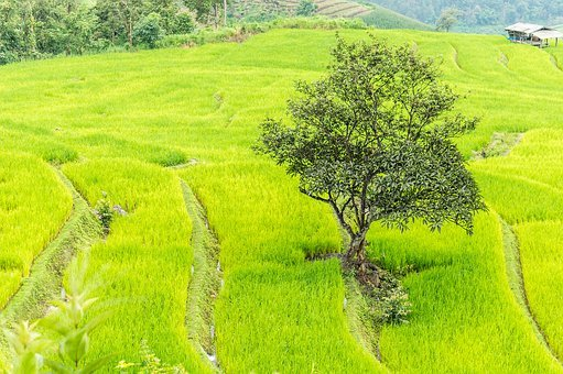 Rice Field, Chiang Mai, Thailand, Paddy