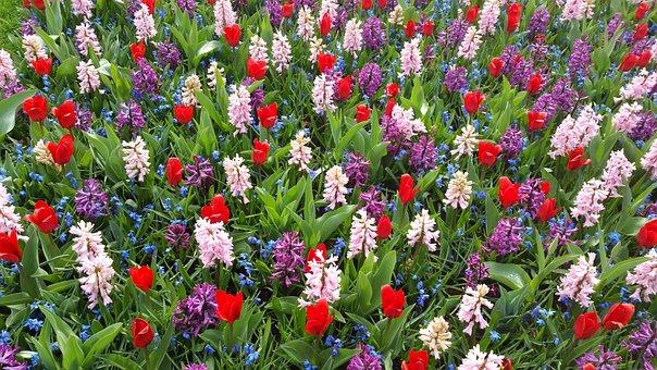 Purple, Crocus, Flowers, Spring, Spring Crocus, White