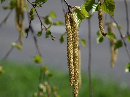 Birch, In The Spring, Sheet
