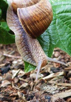 Snail, Animal, Nature, Mollusk, Slowly
