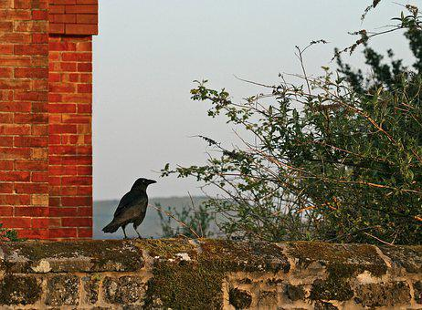 Crow, Wall, Bird, Red, Brick, Bush, Shrug, Tree, Sky