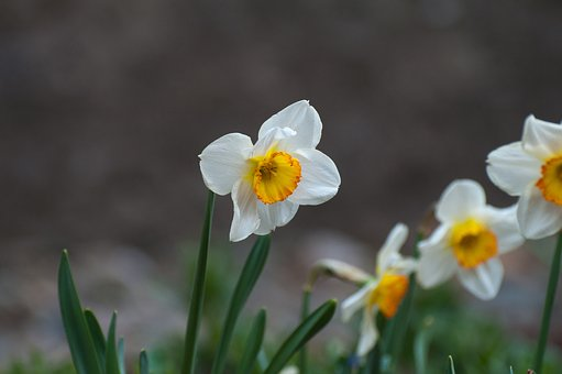 Narcissus, Spring, Blossom, Bloom, Flower, Yellow