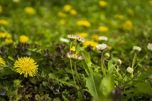 Daisy, Meadow, Dandelion, Yellow, Green, Spring