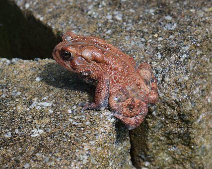 American Toad, Toad, Red Phase, Amphibian, Animal