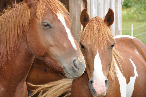 Horses, Mother, Daughter, Breed, Animal, Pasture