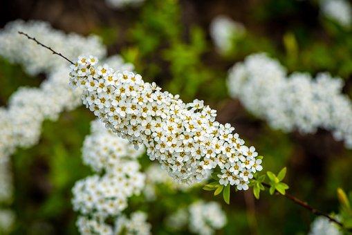 Spierstrauch, Spring, Close, Flower Small