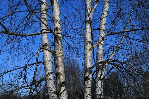 Birch, Tree, Finnish