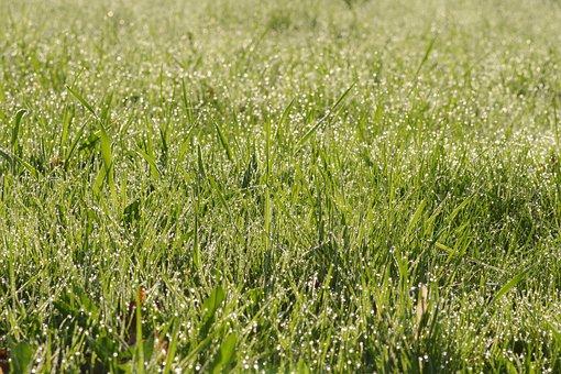 Grass, Rosa, Green, Meadow, Morning, Drops, Field