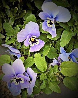 Flowers, 400–500, Pansy, Spring Flowers, Light Blue
