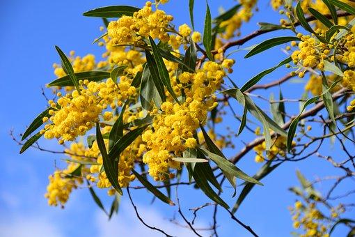 Silver Wattle, Acacia Dealbata, Improper Mimosa, Mimosa