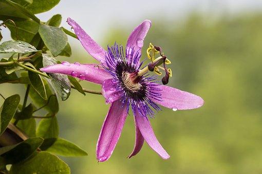Blossom, Bloom, Passion Flower, Nature, Climber