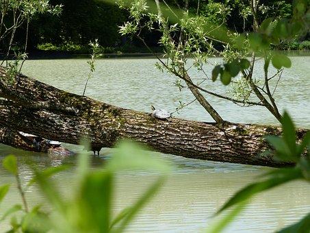Water Turtle, Turtle, Behind Brühler Lake, Tree, Nature