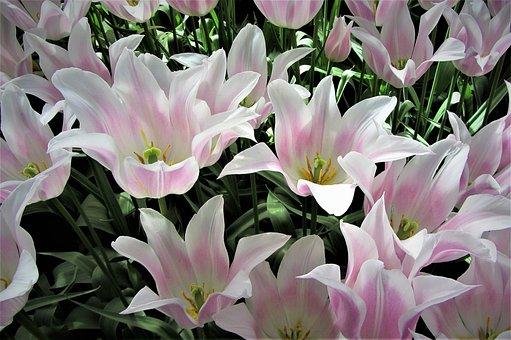 Tulips, Keukenhof, Holland, Netherlands, Tulip Fields