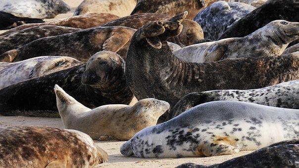 Grey Seals, Horsey Beach, Young, Pup, Horsey, Norfolk