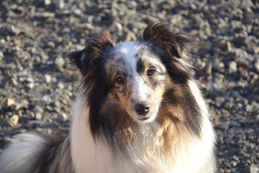 Dog, Shetland Sheepdog, Female, Head, Animal
