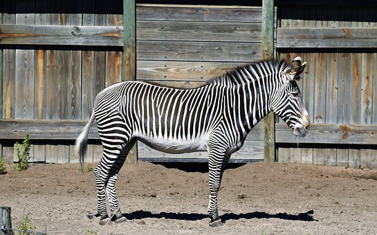 Zebra, Stripes, Black, White, Wild, Pattern, Animal