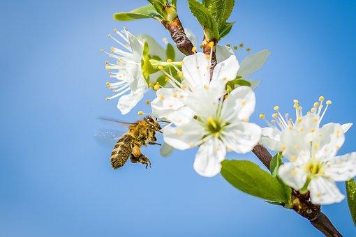Bee, Cherry Blossom, Spring, Fruit Tree, Blossom, Bloom