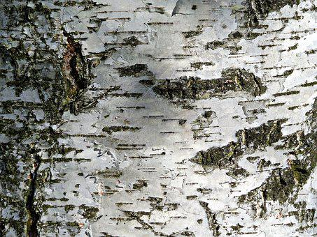 Tree, Birch, Nature, Forest, Beauty, The Bark