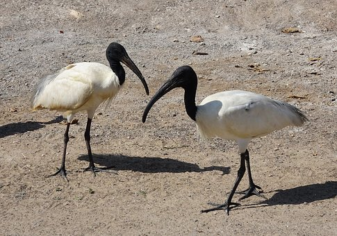 Bird, Ibis, Black-headed Ibis, Oriental White Ibis
