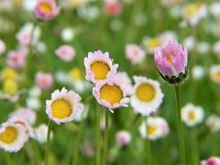 Daisy, Flowers, Rain, Garden, Guerrilla Gardeners