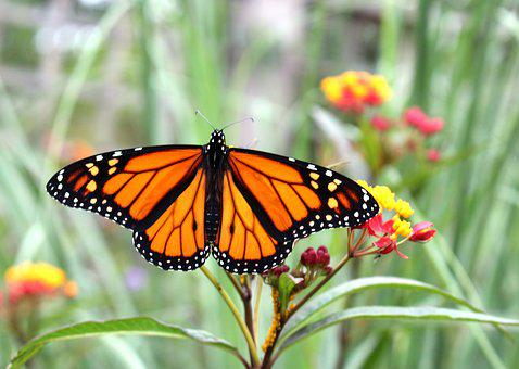Fauna, Insects, Butterfly, Monarch, Summer, Nature