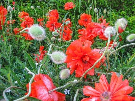 Poppy, Flower, Summer, Fire-mohn, Red, Poppy Flower