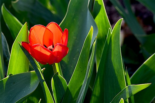Tulip, Red, Green, Flower, Spring, Nature, Floral