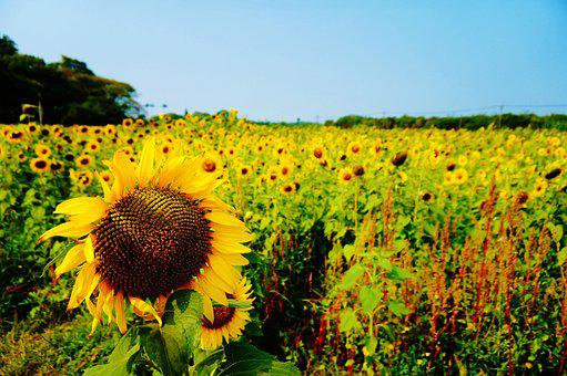 Taiwan, Sunflower, Farm, Flower, Helianthus Annuus