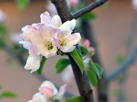 Spring, Apple Tree, Bloom, Flowers, Flowering Tree