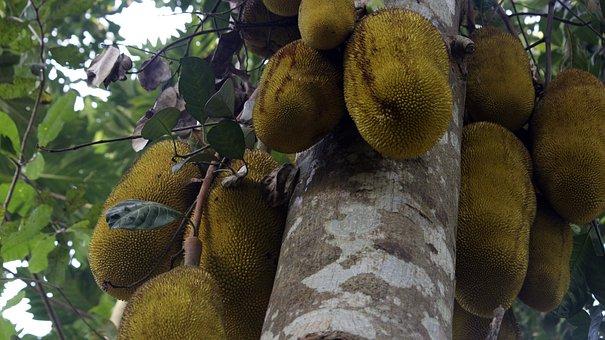 Jackfruit, Jackfruit Tree, Food, Tree, Fruit, Nature