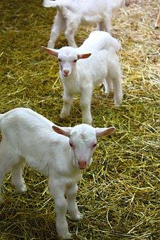 Kids, Goats, Farm, Kůzlátko, Mammal, Kid, Nature