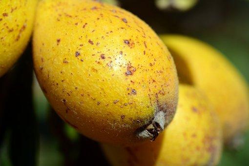 Nispel, Medlar, Eriobotrya Japonica, Fruit