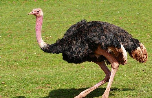 Bird, Ostrich, Nature, Wildlife, Animal, Wild, Head