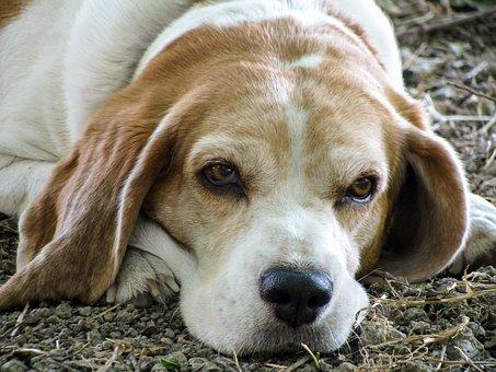 Dog, Beagle, Friend, Senior, Old, Eyes, Nose, Snuff